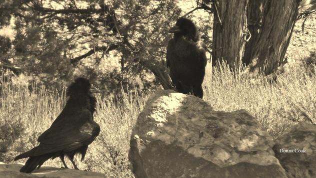 raven wild1